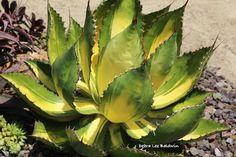 Agave bovicornuta, variegated