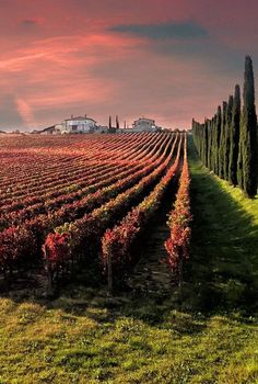 Vineyard by Giuseppe Peppoloni Montefalco, Perugia, Umbria Beautiful World, Beautiful Places, Italian Vineyard, Wine Vineyards, Umbria Italy, Vides, Voyage Europe, In Vino Veritas, Italian Wine