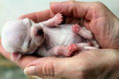 Baby chihuahua..