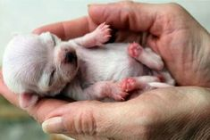 Baby chihuahua..look at those tiny pink feet!!