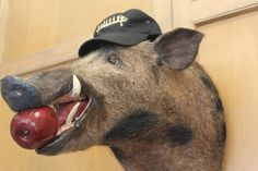 There is never a dull moment at The Canadian Canoe Museum. In fact, a little known Museum secret is the unofficial mascot that frequents the offices of the Museum – the Boar. Canadian Canoe, Museum, Animals, Animales, Animaux, Animal, Animais, Museums