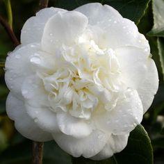 Camellia Nobilissima