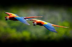 World Parrot Trust Scarlet Macaws (Ara macao) flying in the Reserva de Biosfera Maya, Guatemala.