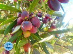 Olive Oil from Crete Greek Cookbook, Olive Harvest, Greek Cooking, Greek Dishes, Oil Shop, Crete Greece, Olive Tree, Growing Tree, Mediterranean Diet