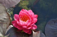 flor del loto fuxia...