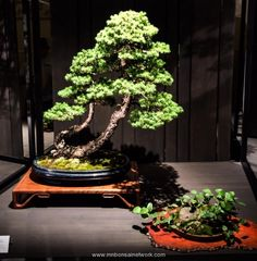 Linda Breeden & Doug Bradley Mountain Hemlock Bonsai Photo by Naedoko Bonsai