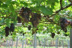 Balitjestro | Prospek Pengembangan Anggur