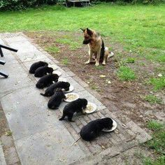 GSDs. Puppies  need special  amounts of food a day according to the puppies  size. Please make sure each one gets its correct  amount  of food  so it can grow up properly. You may need to ask your vet to help you to keep up with your  puppies  health...all type of health