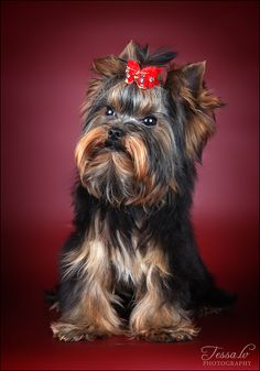 Yorkshire Terrier dog art portraits, photographs, information and just plain fun. Also see how artist Kline draws his dog art from only words at drawDOGS.com He also can add your dog's name into the lithograph.