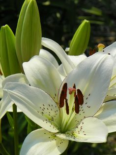 Fragrant Asiatic Hybrid Lily 'Eyeliner'
