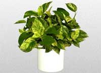 I can't ever find this plant in real life. Pothos from the Araceae family. I don't know why I can't ever remember its name.