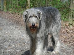 Eryanne Irsh Wolfhound