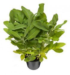 Salvia Salvialla on kauniit hopeanvihreät lehdet ja siniviolettiset kukat. Sen maku on hieman karvas ja kamferinen, muistuttaa maultaan ja tuoksultaan minttua, mutta on voimakkaampi ja pistävämpi. Salvialla maustamisessa kannattaa olla varovainen, sillä se on yksi niistä mausteista, jolla voit maustaa liikaa. Salvia on vuosisatojen ajan ollut yleislääke. Sitä käytetään yskänlääkkeissä limaa irrottavana ja yskänärsytystä lievittävänä rohtona. Sillä on myös verensokeria alentava vaikutus. Salviaa Salvia, Lima, Herbs, Plants, Limes, Sage, Herb, Plant, Planets