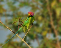 Parrocchetto testa di prugna - Plum-headed Parakeet - Psittacula cyanocephala