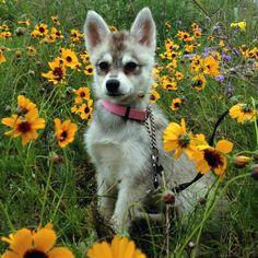 Grey and White Alaskan Klee Kai -- Miniature Husky Alaskan Klee Kai Puppy, Alaskan Malamute Puppies, Alaskan Husky, Husky Mix, Husky Puppy, Husky Dog Names, Miniature Husky, Husky Colors, Husky Adoption