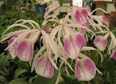 B. Nodosa Hybrid   Brassavola nodosa Hybrid from B. nodosa x C. purpurata