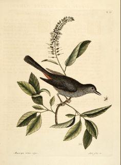 Clethra alnifolia L. Summersweet, Sweet Pepperbush Catesby Volume I plate 66