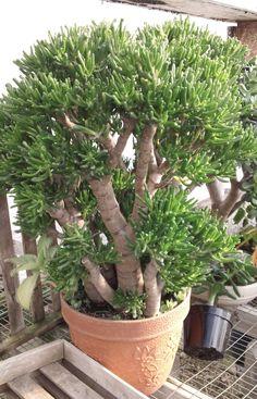 jade plant hobbit