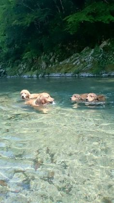 Golden Retrievers love the water. pinterest: triemm ☼