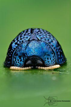 Palmetto Tortoise Beetle - Hemisphaerota cyanea by ColinHuttonPhoto.deviantart.com on @deviantART