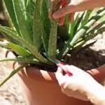 Aloe vera- modaliati simple de folosire pentru a te putea bucura de beneficiile ei chiar la tine acasa! - Infuzie de Sănătate Aloe Vera, Health And Nutrition, Remedies, Herbs, Healthy, Medicine, Therapy, Diet, Reading