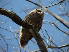 Mexican Barred Owl Strix sartorii - Google Search