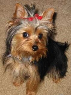 Yorkie. Shed only when bathed or brushed. Active. Loves attention. Very overprotective and harder to train.