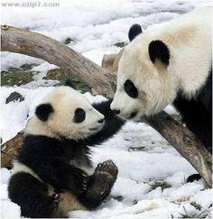 imagenes de osos pandas bebes - Buscar con Google