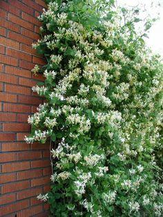 Lonicera caprifolium - Klängväxter övriga - Klängväxter - Växter