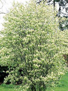 Isotuomipihlaja Häggmispel, Amelanchier spicata E - Zon 1-7. Blommar tidigt i juni. Bildar ett 3–5 meter högt buskträd. Tät och smalvuxen med utpräglat upprätt växtsätt. De gröna bladen sitter strödda och är elliptiska till äggrunda, på hösten får de en vacker orange färg. Vita blommor i maj. Blommorna sitter i upprätta klasar. Efter blomningen bildas blåsvarta nyttiga bär. En frisk och härdig växt med E-plantstatus. Spicata är den härdigaste häggmispeln.