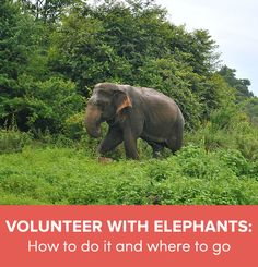Go Overseas gives tips on how to volunteer with elephants abroad and where to go to work with elephants. Volunteer with elephant conservation abroad. | Volunteer with wildlife | Volunteer in Africa | Volunteer in Asia