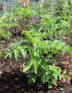 This tomato growing hack has been pinned by THOUSANDS on Pinterest and you will instantly see why!