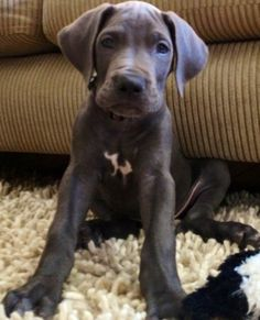 #Blue #Great #Dane #puppy
