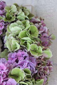 Hortensia, la fleur de Bretagne !