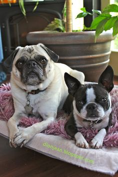 Sweet pug and his Boston terrier friend.