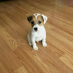 Jack Russell Terrier - A Dog in One Pack - Champion Dogs Jack Russell Terriers, Jack Russell Puppies, Jack Russell Mix, Little Dogs, Bull Terrier Dog, Small Dog Breeds, Cute Dogs Breeds, Training Your Dog, Dog Life