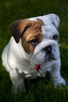 oh sweet Lord!... this puts in involuntary #smile on my face. I love #bulldogs!