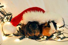 My guinea pigs @ Christmas