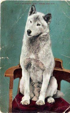 "Malumite ""Bob"" Eskimo Sled Dog 1907"