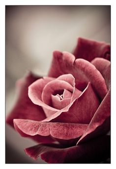 the rose...that a flower provides such beauty just by being a flower..makes you think.