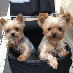 The many things I admire about the Affectionate Yorkshire Terrier Puppies Die vielen Dinge, die ich an den liebevollen Yorkshire Terrier-Welpen bewundere Yorshire Terrier, Silky Terrier, Yorkies, Yorkie Puppy, Baby Yorkie, Cute Puppies, Cute Dogs, Dogs And Puppies, Chien Yorkshire Terrier