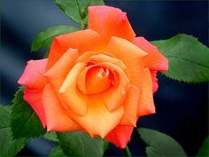 Rose im Juli - Jahreszeiten - Galerie - Community