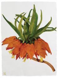 Fritillaria Imperialis I, 2013 -Sarah Graham Macro Flower, Flower Art, Botanical Drawings, Botanical Prints, Bird Illustration, Botanical Illustration, Sarah Graham Artist, Watercolor Flowers, Watercolour Painting