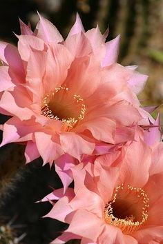 Easter Lily Cactus | Beautiful