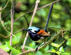The Red-winged Fairywren ... a bird endemic to the southwestern corner of Western Australia.