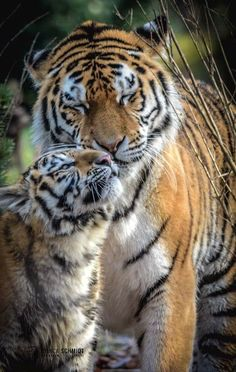 more with healing sounds: Tiger Pictures, Cute Animal Pictures, Wild Animals Photography, Wildlife Photography, Quokka, Rare Animals, Cute Little Animals, My Favorite Image, Big Cats