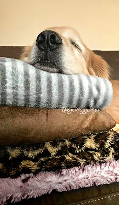 These blankets were impossible to resist! #goldenretriever