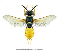 Wasp Philanthus triangulum on a white background - stock photo