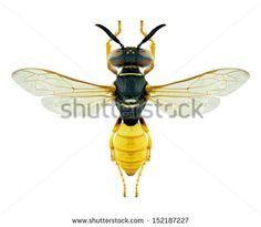 Wasp Philanthus triangulum on a white background - stock photo