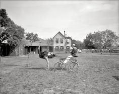 "Florida circa 1905. ""Oliver W., the famous trotting ostrich, Florida Ostrich Farm, Jacksonville."" 8x10 inch glass negative, Detroit Publishing Co."